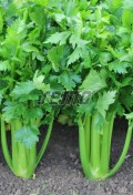 p0443-semo-vegetable-celery-merlin.jpg