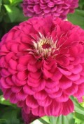 zinnia_super_yoga_purple_(1)_web_z1.jpg