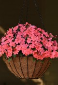 Impatiens-Beacon-Coral.jpg