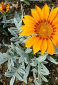 30548-gazanie-zariva-gazania-rigens-talent-orange4.jpg