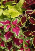 coleus-wizard-mix.jpeg