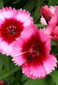 dianthus-super-raspberry-parfait-tray-of-40-plug-plants-4181-p.jpg