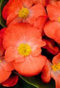 full-begonia-sprint-plus-orange.jpg