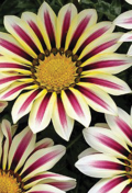 gazania-daybreak-rose-strip.png