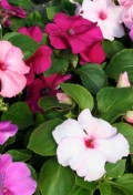 impatiens-accent-mystic-mix.jpg