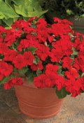 impatiens-accent-premium-red.jpg