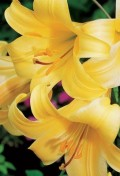 lilium-golden-splendor.jpg