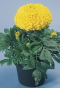 marigold-discovery-yellow-pot-wp.jpg
