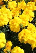marigold-safariyellow-large.jpg