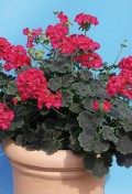 pelargonium-zonale-big.jpg