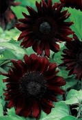 sunflower-black-magic-f1-20-seeds.jpg