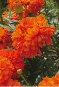 tagetes-kees-orange.png