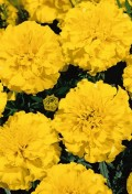 tagetes-patula-little-hero-yellow-w2270-1.jpg