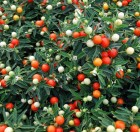 jerusalem-cherry-solanum-pseudocapsicum-perennial-make-great-house-plant-69051794.jpg